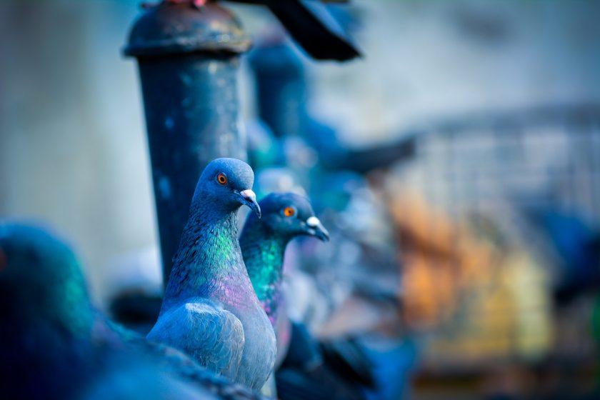 Por qué realizar control de aves urbanas